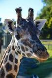 Giraffe do bebê em África Foto de Stock