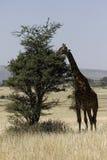 Giraffe do Masai fotografia de stock royalty free