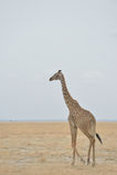 Giraffe do Masai Imagem de Stock Royalty Free