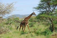 Giraffe do Masai Fotos de Stock Royalty Free