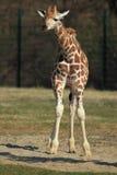 Giraffe do Ugandan fotos de stock