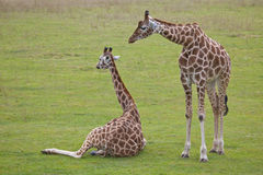 Giraffe dois Fotos de Stock