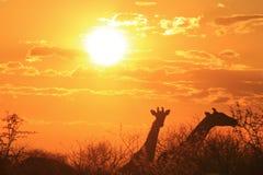 Giraffe dorate - fondo della fauna selvatica dall'Africa - bellezza naturale Fotografia Stock Libera da Diritti