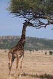 Giraffe dos animais 046 fotografia de stock royalty free