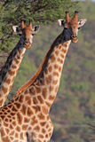 Giraffe Double Royalty Free Stock Photo