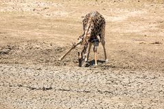 Giraffe at dried up waterhole in Kruger Stock Photo