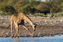 Giraffe drinking Stock Image