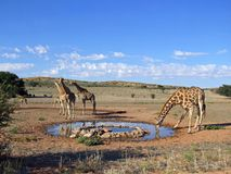 Free Giraffe Drinking Stock Photos - 5809273