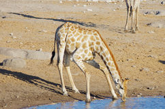 Free Giraffe Drinking Stock Images - 74433394