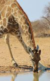 Giraffe - Drinking African Water Royalty Free Stock Images