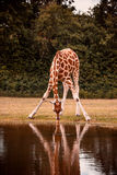 Giraffe drinking Royalty Free Stock Photography