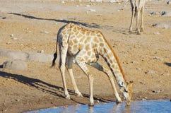 Giraffe drinking Stock Images