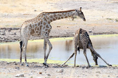A giraffe drinking while the other one is watching Royalty Free Stock Photography