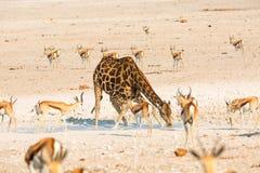Giraffe drinking water in Etosha NP Stock Photo