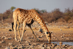 Giraffe drinking water Royalty Free Stock Photography