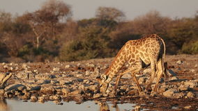 Giraffe drinking water stock footage