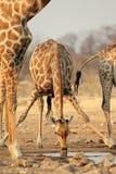 Giraffe drinking water Royalty Free Stock Photos