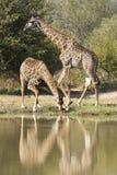 Giraffe drinking water, (Giraffa camelopardalis), South Africa. Two Southern Giraffes's (Giraffa camelopardalis) in South Africa. One drinking water Royalty Free Stock Photo