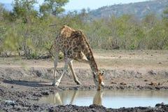 Giraffe drinking water stock photography