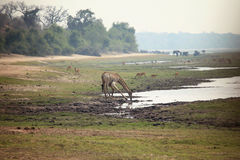 Giraffe drinking water and kneeling in the African savannah Stock Photo