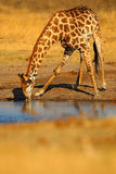 Giraffe drinking water from the lake, evening orange sunset, big animal in the nature habitat, Botswana, Africa. Giraffe drinking water from the lake, evening Stock Images