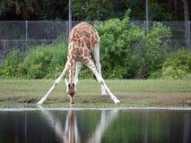 Giraffe drinking Stock Photos