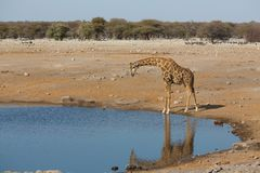 Giraffe drinking water Royalty Free Stock Photos