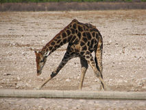 Giraffe drinking water Royalty Free Stock Images