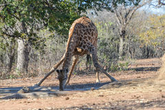 Giraffe drinking water at waterhole Stock Photography