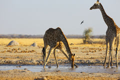 Giraffe drinking water at the waterhole Royalty Free Stock Photo