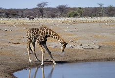 Giraffe drinking at a waterhole Stock Photo