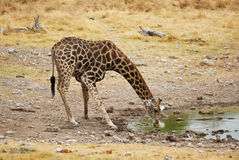 Giraffe drinking Stock Photography