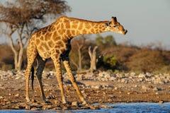 Giraffe is drinking on a waterhole, etosha nationalpark, royalty free stock photo