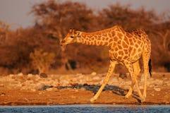 Giraffe is drinking on a waterhole, etosha nationalpark, namibia Stock Images