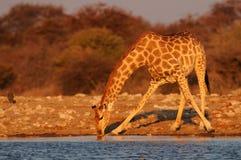 Giraffe is drinking on a waterhole, etosha nationalpark, namibia Royalty Free Stock Photos