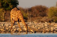 Giraffe is drinking on a waterhole, etosha nationalpark, namibia Royalty Free Stock Photography