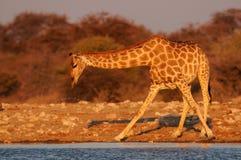 Giraffe is drinking on a waterhole, etosha nationalpark, namibia Royalty Free Stock Photo