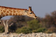 Giraffe is drinking on a waterhole, etosha nationalpark, namibia Stock Photos