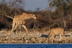 Giraffe is drinking on a waterhole, etosha nationalpark, namibia. Giraffe is drinking on a waterhole with kudu, etosha nationalpark, namibia, giraffa Royalty Free Stock Image
