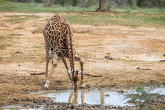 Giraffe drinking waterhole South Africa Royalty Free Stock Images