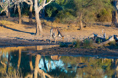Giraffe drinking from waterhole at sunset. Wildlife Safari in the Mapungubwe National Park, South Africa. Scenic soft warm light. Royalty Free Stock Photography