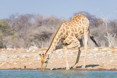 Giraffe drinking from waterhole. Wildlife Safari in the Etosha National Park, famous travel destination in Namibia.  Royalty Free Stock Photos