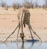 Giraffe Drinking royalty free stock image