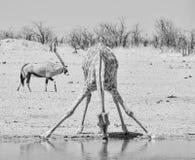 Giraffe Drinking royalty free stock photo