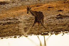 Giraffe drinking from the waters of the waterhole Royalty Free Stock Image