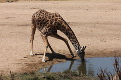 Giraffe drinks in a dry river bed royalty free stock image