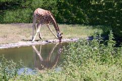 Giraffe drinks water. Stock Photos