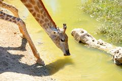 Giraffe drinks water in a Jerusalem Biblical Zoo royalty free stock images