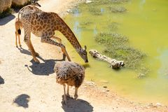 Giraffe drinks water in a Jerusalem Biblical Zoo royalty free stock photos