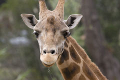 Giraffe drooling. Face of Baringo giraffe drooling royalty free stock photos